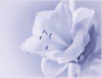 Amaryllis sul blu Fotografie Stock Libere da Diritti