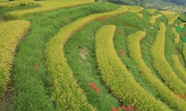 Amaryllis tarasowaci ryżowi pola Zdjęcie Stock