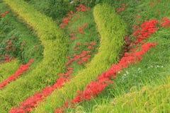 Amaryllis tarasowaci ryżowi pola Zdjęcia Stock