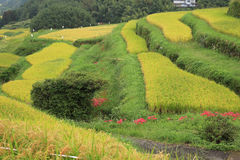 Amaryllis tarasowaci ryżowi pola Obrazy Royalty Free