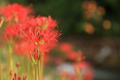 Amaryllis tarasowaty ryżowy fields〠 Lycoris radiata Zdjęcia Stock