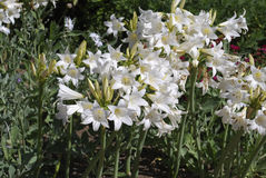 Amaryllis-Tollkirsche u. x27; Weißes Queen& x27; Blumen Lizenzfreie Stockfotos