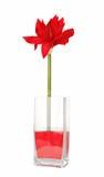 Amaryllis in vase Stock Image