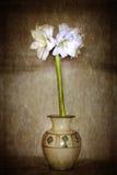 Amaryllis in vaso Fotografia Stock