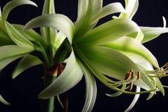 Amaryllis verde Fotografía de archivo libre de regalías