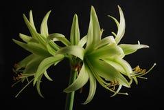 Amaryllis verde Fotos de archivo libres de regalías