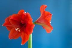 Amaryllis vermelha no fundo azul Foto de Stock Royalty Free