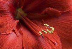 Amaryllis vermelho imagens de stock