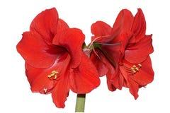 Amaryllis vermelho Imagens de Stock Royalty Free