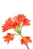 Amaryllis vermelho no branco. Fotografia de Stock Royalty Free