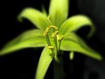 Amaryllis verte pour les vacances Photographie stock libre de droits