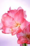 Amaryllis on violet gradient background. Royalty Free Stock Image
