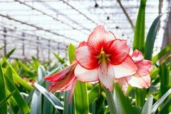 Amaryllis växthus Arkivfoton