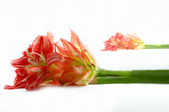 Amaryllis on white royalty free stock photos