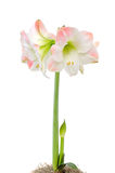 Amaryllis on white Stock Photos