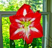Amaryllis In A Window. An Amaryllis flower in front of a window Royalty Free Stock Photos