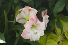 Amaryllis wit butterfly in a garden Royalty Free Stock Photography