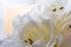 amaryllisen royaltyfri foto