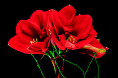 amaryllisen Royaltyfria Foton