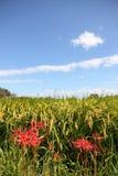 amaryllisen fields paddy royaltyfri bild