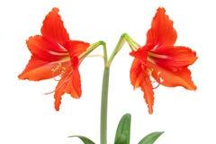 amaryllisen 2 röda blommor med den snabba banan som isoleras på vita lodisar Arkivbilder