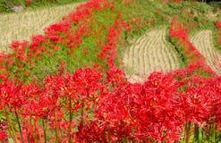 Amaryllises and paddy Stock Photography