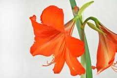 amaryllisred Royaltyfri Bild