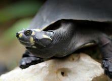 Amasonsköldpadda Royaltyfri Bild