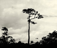 Amasonträd Arkivbilder