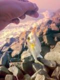 Amatörmässigt fiske i Indien 6 Denna triggerfish som fångas på musslakött Royaltyfri Fotografi