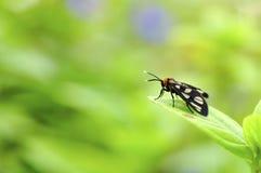 Amata hirayamae or Tiger moth royalty free stock photo