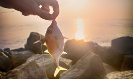 Amateur fishing in India 6. This triggerfish caught on meat Royalty Free Stock Image