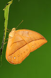 Amathusia de Aemona/resto de la mariposa en la hoja Imagenes de archivo