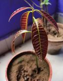 An amature baby mango plant with red leaves in a pot with wooden back ground. An amature baby mango plant with red leaves in a pot with wooden back ground royalty free stock photography