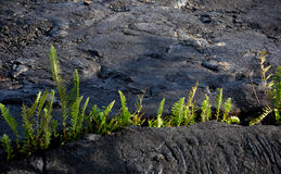 Amau fern breaks through lava field near Kalapana. Amau fern breaks through Kalapana lava field, Puna district, Big Island Stock Photography