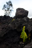 Amau fern gets through the lava layer near Chain of Craters road. Volcano State Park, Big Island, Hawaii Stock Photo