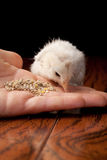 Amaucana baby chick eating feed on a black background. Newly hatched white Ameraucana baby chick eating out of a Caucasian hand Royalty Free Stock Images