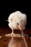 Amaucana baby chick eating. Newly hatched white Ameraucana baby chick bending over and eating on a black background and wooden table Stock Image