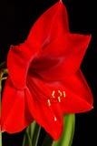 Amayllis Image libre de droits