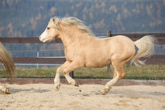 Amazaing palomino welsh mountain pony running Royalty Free Stock Images