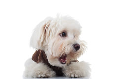 Amazed bichon puppy dog looks to side with mouth open Stock Images