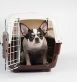 Amazed Chihuahua Royalty Free Stock Photography