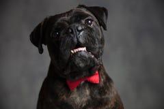 Amazed elegant boxer dog with mouth open. On grey background Stock Images