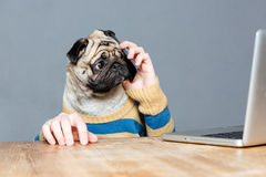 Amazed man with pug dog head talking on mobile phone. And using laptop over grey background stock photos