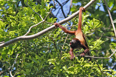 Amazed monkey hanging by the tail, Colombia Stock Images