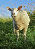 The amazed sheep Stock Photos