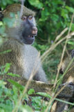 The amazement of a baboon Royalty Free Stock Photography