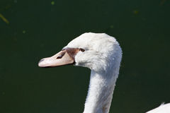 The amazement of a beautiful white swan Royalty Free Stock Photo