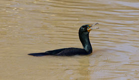 The amazement of the cormorant Stock Image