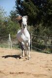 Amazign white andalusian stallion moving Stock Photos